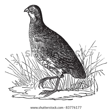 Bobwhite Quail or Northern Bobwhite or Virginia Quail or Colinus virginianus, vintage engraved illustration. Trousset encyclopedia (1886 - 1891). - stock vector