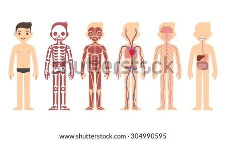 Body anatomy chart: skeletal, muscular, circulatory, nervous and digestive systems. Flat cartoon style. - stock vector