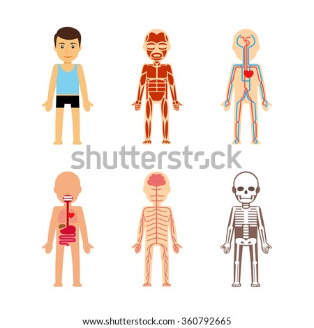 Body anatomy Vector illustration. Skeletal and muscular, circulatory and nervous - stock vector