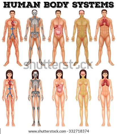 body system man woman illustration stock vector 332718374, Cephalic Vein