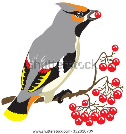 bohemian waxwing on a branch of rowan tree. Image isolated on white background
