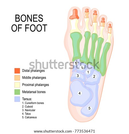 Bones Foot Human Anatomy Diagram Shows Stock Vector 773536471