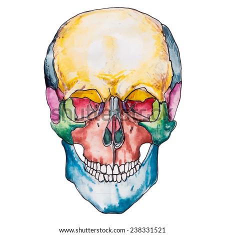 Bones of the human skull. Skull vector illustration. Medical Anatomy. The bones of the skull anatomy.Full face head. - stock vector