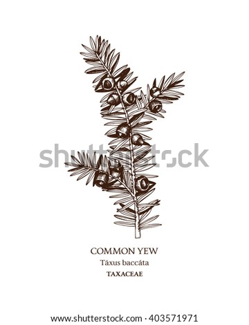 Botanical illustration of Common yew. Hand drawn sketch of poisonous plant - Taxus baccata.