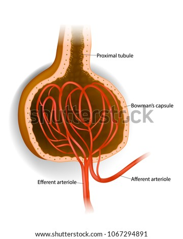 Capsule Microscopic Structure Kidney Glomerulus Bowmans Stock Vector ...