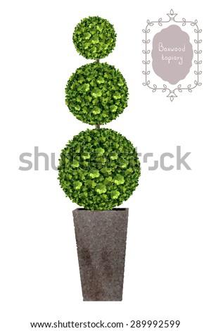 Boxwood topiary, garden plant, vector background. Tree in flowerpot. Shrub for landscape. - stock vector