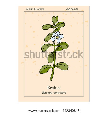 Brahmi (Bacopa monnieri ) or waterhyssop, thyme-leafed gratiola, water hyssop, herb of grace, Indian pennywort. Medicinal plant. Hand drawn botanical vector illustration - stock vector