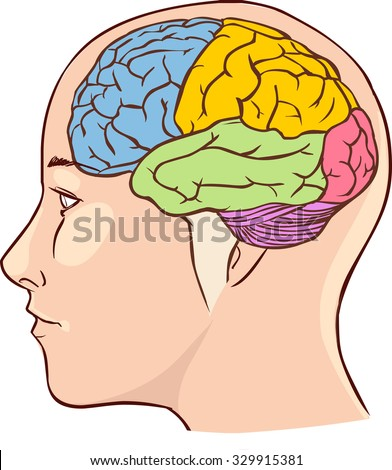 Head and brain diagram wiring diagram brain anatomy diagram sectioned different colours stock vector 2018 rh shutterstock com head and brain diagram ccuart Image collections