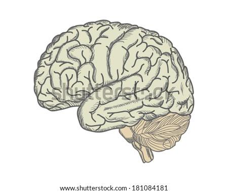 Brain. Hand-drawing. Vector.   - stock vector