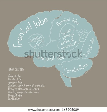 Brain sections - stock vector