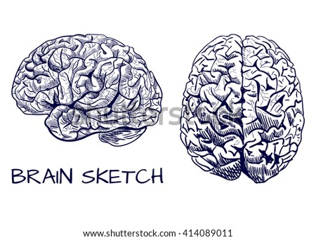 Brain sketch. VECTOR colored hand drawn human brain. Line work, pink. Front and side view. Blue lines drawing.   - stock vector
