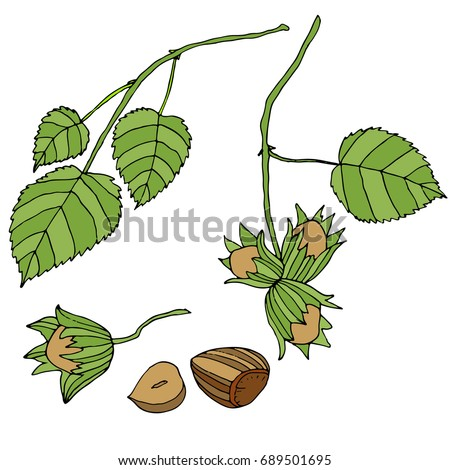 Branch with leaves and ripe, forest, nuts, isolated. Set of hazelnuts. Vector color hand drawn illustration.Colored page for adults and children.Design, book, textile, print, poster, fabric, card
