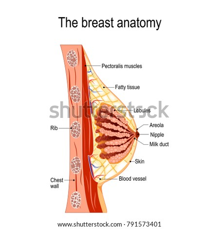Milk Mammary Gland Diagram Search For Wiring Diagrams