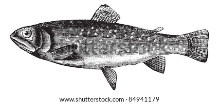 Brown Trout or Salmo trutta, vintage engraved illustration. Trousset encyclopedia (1886 - 1891). - stock vector