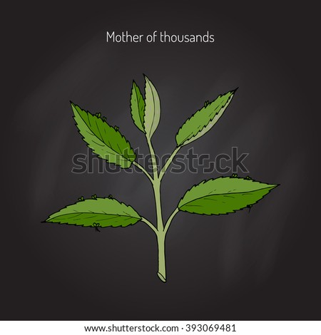 Bryophyllum daigremontianum,  Mother of Thousands, Alligator Plant, or Mexican Hat Plant (Kalanchoe daigremontiana). Hand drawn botanical vector illustration