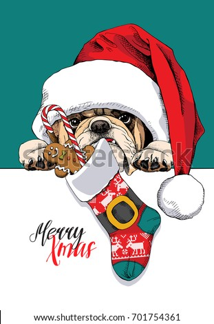 Bulldog in a big Santa's cap with a Christmas sock and a sweet Gingerbread man and lollipop on a green background. Vector illustration.