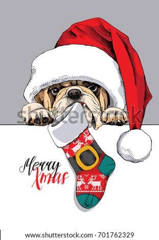 Bulldog in a big Santa's cap with a Christmas sock. Vector illustration.