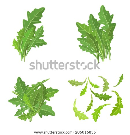 bunch fresh arugula herb isolated set - stock vector