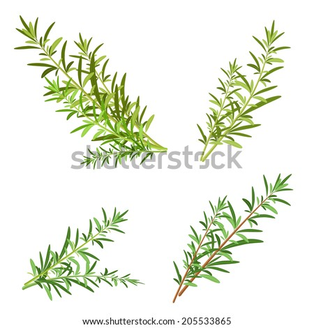 bunch fresh rosemary herb isolated set - stock vector