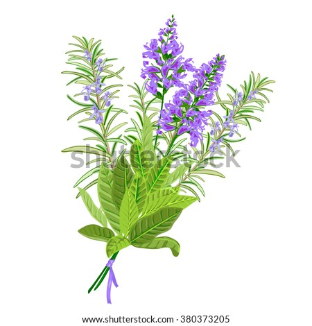 Bunch of flowering sage and rosemary. Vector illustration - stock vector