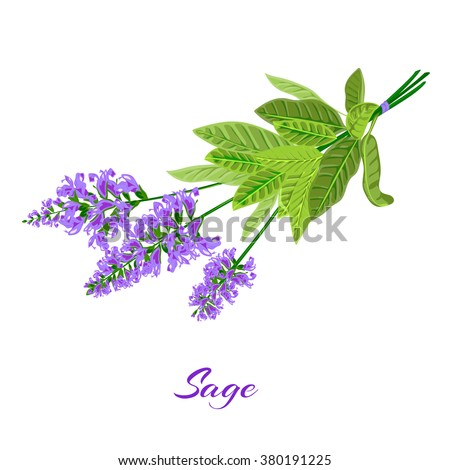 Bunch of flowering sage. Sage herb. Vector illustration - stock vector