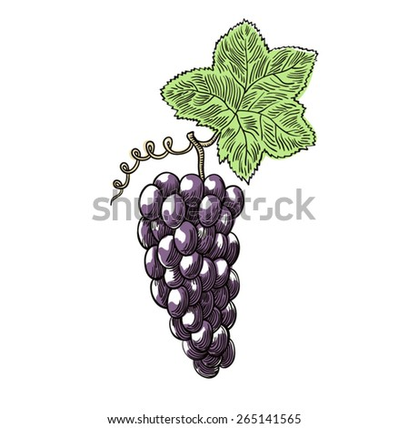 Bunch of grapes. Vector illustration.