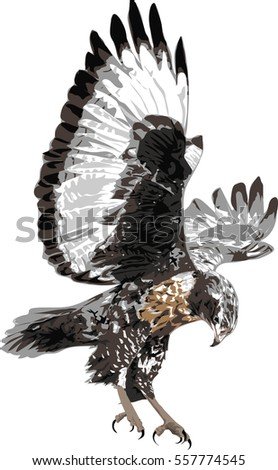 Buzzard  - Vector illustration  -  Detailed Realistic Illustration of Bird Isolated on white - Bird of Prey