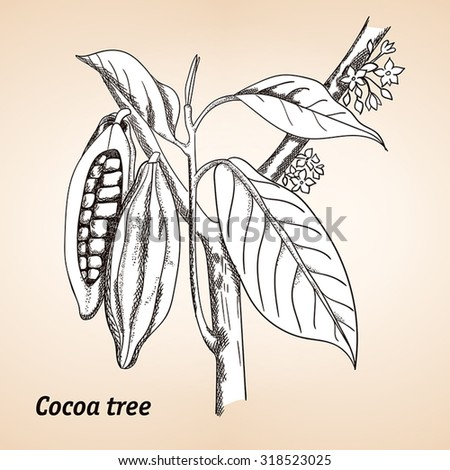 Cacao tree, cocoa tree or Theobroma cacao, leaves, fruit and branch vintage engraving. - stock vector