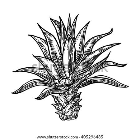 Agave Stock Images Royalty Free Images Amp Vectors