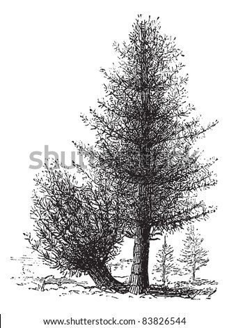 Calamus and Rattan, vintage engraving. Old engraved illustration of Rattan and Calamus trees. Trousset encyclopedia (1886 - 1891). - stock vector