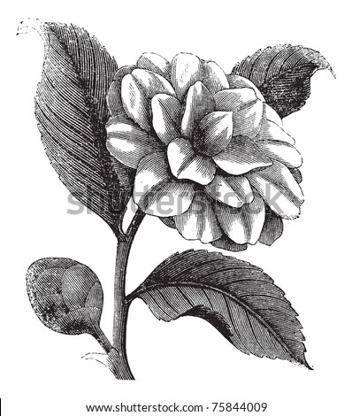 Camellia Japonica or Rose of winter or Theaceae vintage engraving. Old engraved illustration of a beautiful Camellia Flower - stock vector