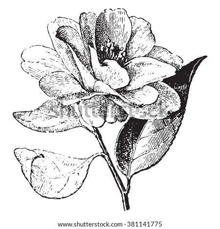 Camellia, vintage engraved illustration. Dictionary of words and things - Larive and Fleury - 1895.  - stock vector