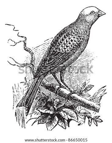 Canary Lizard, vintage engraved illustration. Lizard Canary perching on branch. Trousset encyclopedia (1886 - 1891). - stock vector