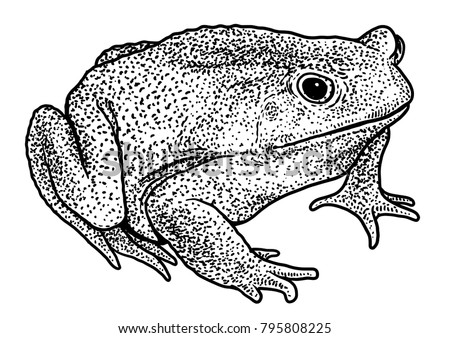 cane toad illustration drawing engraving ink line art vector