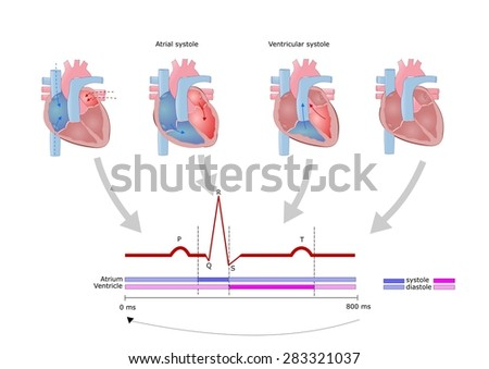cardiac cycle electrocardiogram ecg stock vector 283321037 shutterstock. Black Bedroom Furniture Sets. Home Design Ideas