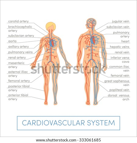 Cardiovascular system of a human. Cartoon vector illustration for medical atlas or educational textbook. Male and female physiology. - stock vector