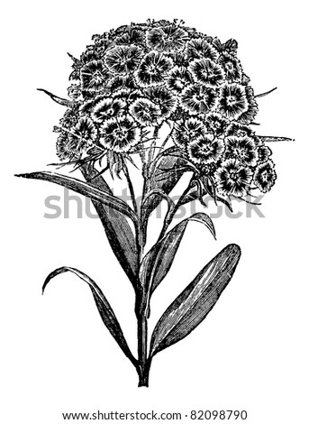 Carnation Barbu (Dianthus barbatus) or Sweet William. vintage engraved illustration.  Trousset encyclopedia (1886 - 1891). - stock vector