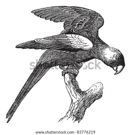 Carolina Parakeet or Conuropsis carolinensis, vintage engraved illustration. Trousset encyclopedia (1886 - 1891). - stock vector
