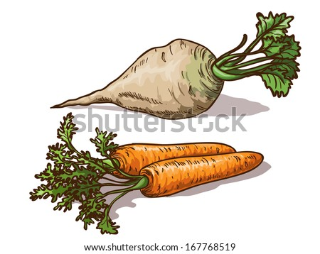 Carrots and sugar beet isolated on white background - stock vector