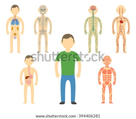 Cartoon man body anatomy. All body systems - Urogenital, Respiratory, Nervous, Circulatory, Skeleton, Digestive and Muscular systems. Vector illustration - stock vector