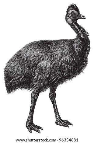 Cassowary (Casuarius galeatus) / vintage illustration from Meyers Konversations-Lexikon 1897 - stock vector