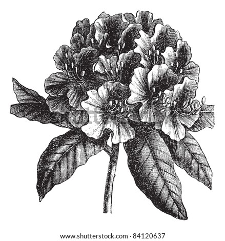 Catawba Rhododendron or Rhododendron catawbiense, vintage engraving. Old engraved illustration of Catawba Rhododendron hybrid isolated on a white background. Trousset encyclopedia (1886 - 1891). - stock vector