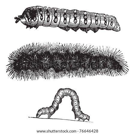 Caterpillar, vintage engraving. Old engraved illustration of the caterpillars of the Indian Moon moth (top), Brush-footed butterfly (center), and Geometer moth (bottom). Trousset encyclopedia. - stock vector
