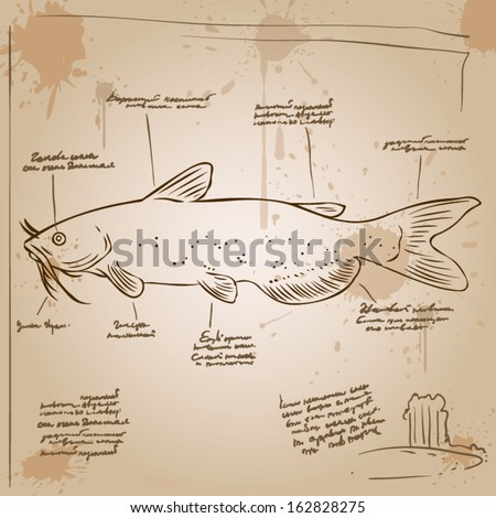 Catfish. Vintage picture with explanations in an unknown language. Old paper, ink stains. - stock vector