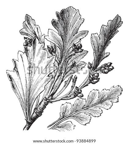Celery-top pine (Phyllocladus glaucus) / vintage illustration from Meyers Konversations-Lexikon 1897 - stock vector