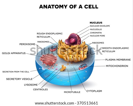 Cell cross section structure detailed colorful anatomy with description.