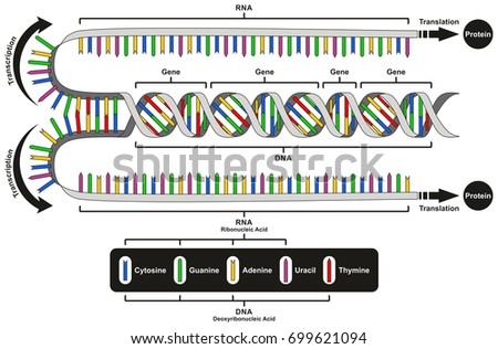 Central Dogma Gene Expression Infographic Diagram Stock Vector 2018