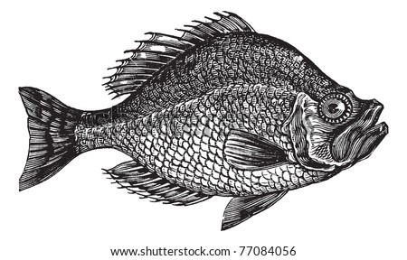 Centrarchus aeneus or rock bass fish vintage engraving. Old engraved illustration of Centrarchus aeneus.  Trousset encyclopedia. - stock vector