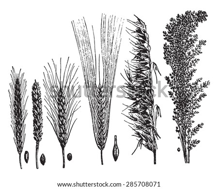 Cereals, vintage engraved illustration. La Vie dans la nature, 1890.