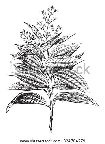 Ceylon cinnamon, flowers and leaves, vintage engraved illustration. Industrial encyclopedia E.-O. Lami - 1875. - stock vector